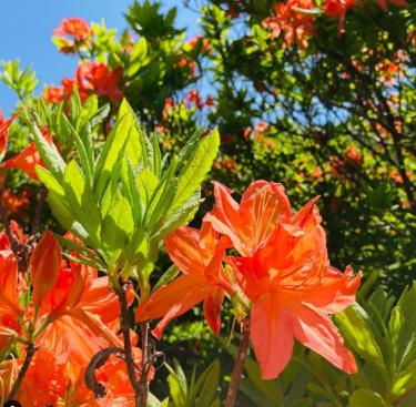 【群馬の絶景花スポット】赤やオレンジ・ピンクのツツジを見に行こう!